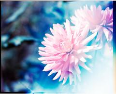 Mamiya_Ektar_flowers_010 (Benjamin Dart) Tags: ektar film mamiya rz67