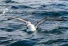 Campbell Albatross(Thalassarche impavida steadi) (sussexbirder) Tags: campbell steadi impavida albatrossthalassarche albatrosswhitecapped