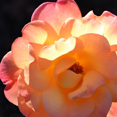 Kissed by the sun (tracyholcombdesigns) Tags: flowers autumn light flower nature rose yellow photoshop nikon  sunsetflower tracyholcomb