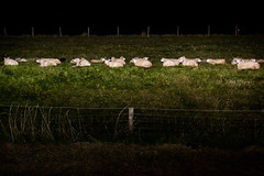 (Peter de Krom) Tags: holland netherlands sheep dike blacksheep andijk