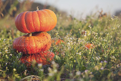 cinderellas (marla.misclevitz) Tags: autumn orange green fall nature field grass canon pumpkins stack