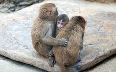 Japanese monkey (floridapfe) Tags: animal japanese zoo korea everland monkeyjapanesemonkey