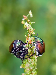 _DSC7552b (aeschylus18917) Tags: macro nature japan insect nikon beetle  saitama hanno saitamaken coleoptera 105mm  105mmf28 105mmf28gvrmicro saitamaprefecture d700 nikkor105mmf28gvrmicro  nikond700 danielruyle aeschylus18917 danruyle druyle     hann hannshi musashiyokote