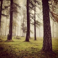 Nebbia nel bosco (Nik!) Tags: nebbia dolomiti bosco larici instagram