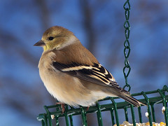 American Goldfinch Portrait