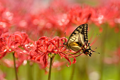 Lycoris with a Swallowtail (myu-myu) Tags: flower nature japan butterfly insect nikon ngc lycorisradiata  lycoris  papiliomachaon   tamronspaf90mmf28macro d300s