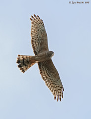 Vari desde lo alto (Circus cinereus) (Egon Wolf) Tags: chile bird ave