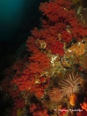 Raspberry field (northwest diver) Tags: ocean sea coral canon diving pacificnorthwest scubadiving seaanemone coldwater underwaterphotography softcoral wideanglephotography redsoftcoral coldwaterdiving cribrinopsisfernaldi crimsonanemone seastrawberry gersemiarubiformis eunephtyarubiformis