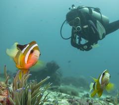 Making friends (Peter_Mawby) Tags: underwater scuba shangrila clownfish anemone scubadiver underwaterphotos
