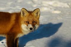 The Eyes of a Fox (Dan King Alaskan Photography) Tags: alaska fox hunt deadhorse redfox prudhoebay sigma80400mm canon50d