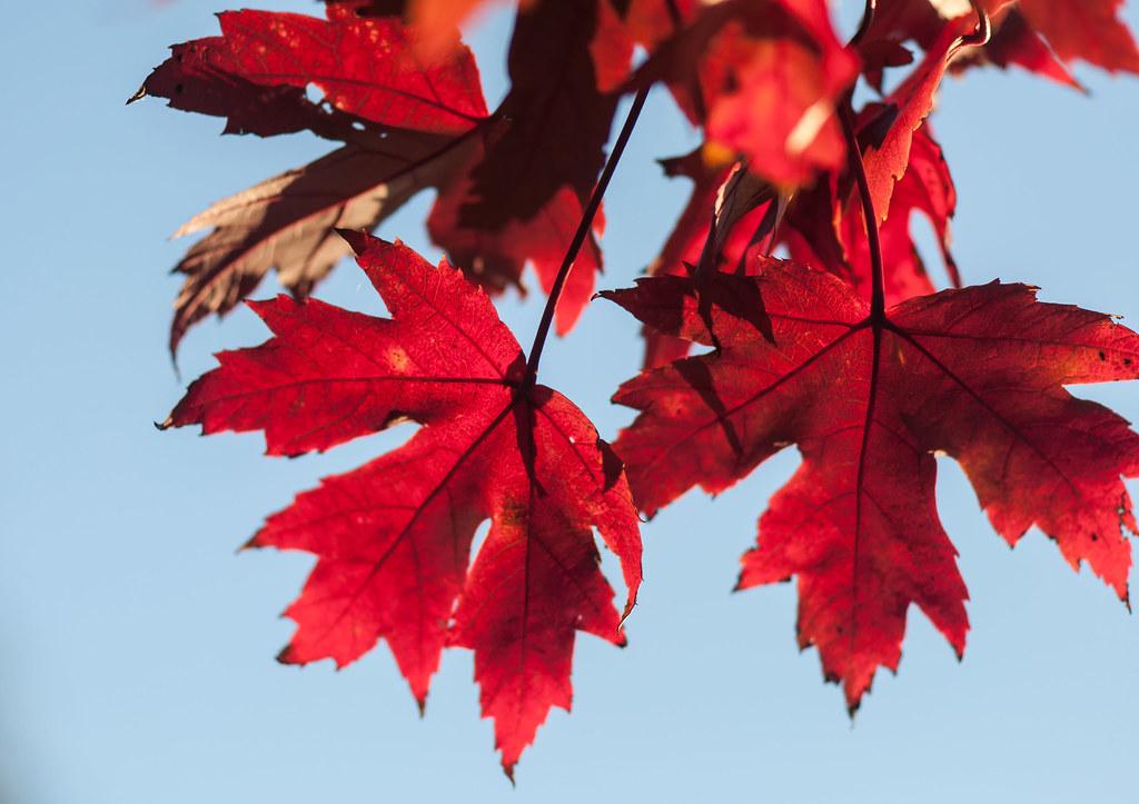 Maple by bradhoc, on Flickr