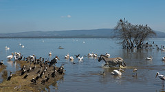 So much birdlife........and a zebra (shashin62) Tags: africa lake water kenya wildlife zebra nakuru birdlife lakenakuru mygearandme
