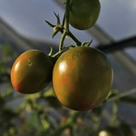 Tomatoes in the glass house thumbnail