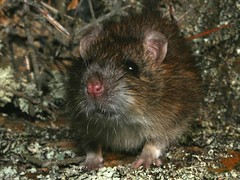 Norway Rat (3) (ROCKnVOLE Photography) Tags: newzealand mouse rodent rat wildlife otago maniototo gimmerburn
