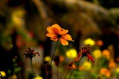 \// (Pulkit Nakrani) Tags: orange india flower nature beautiful canon garden amazing bokeh gujarat coth coth5 blinkagain sx230hs sx220hs