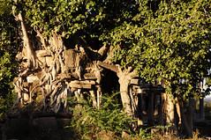 Tree and Temple (Saumil U. Shah) Tags: travel india tree history tourism archaeology monument beautiful architecture forest temple ancient ruins tourist historic temples polo banyan gujarat shah  vijaynagar saumil incredibleindia worldtrekker himmatnagar  saumilshah