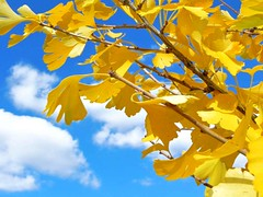 Last Days of Autumn Ginkgo (Hawaiian Sea) Tags: autumngold hawaiiansea ginkgoleaves
