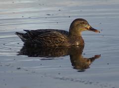 Mallard Female Ducks (Rovers number 9) Tags: uk autumn england water minolta wildlife sony lancashire mallard 2012 silverdale rspb leightonmoss a65 minoltaaf100200f45 rspbleightonmoss sonya65