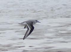 Sanderling (Rovers number 9) Tags: uk autumn water birds minolta wildlife sony lancashire blackpool 2012 a65 minoltaaf100200f45 sonya65