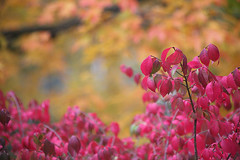 Autumn Hues (peterkelly) Tags: autumn red orange ontario canada tree fall digital bush guelph northamerica shrub encarnado