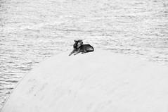 cucha con vista al mar (quino para los amigos) Tags: dog pet perro santorini greece grecia mascota dsc0275