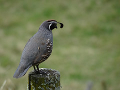 California Quail #1 (Home Land & Sea) Tags: newzealand male bird nz napier sonycybershot hawkesbay fencepost hff californiaquail callipeplacalifornica explored fencedfriday homelandsea wharerangi dschx100v