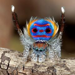 _X8A6278 peacock spider Maratus speciosus (Jurgen Otto) Tags: