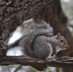 Eastern Gray Squirrel (Sciurus carolinensis) (fisherbray) Tags: usa nikon squirrel unitedstates florida fortwaltonbeach graysquirrel ftwaltonbeach sciuruscarolinensis easterngraysquirrel ferrypark fwb okaloosacounty d5000 fisherbray