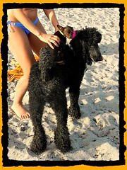 Mom! Some girl put a Chihuahua on my back! (Midnight and me) Tags: chihuahua beach sand funny bellyring poodle standardpoodle blackstandardpoodle girlinbikini midnightandme chihuahuaridingpiggybackonpoodle