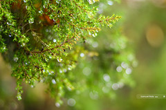 Erica Arborea [Explored] (samuel.rolo) Tags: light tree portugal water beautiful beauty rain self lens photography 50mm prime photo droplets drops nikon foto photographer photos bokeh explore heath after erica fotografia nikkor 18 50 samuel arborea 50mm18 viseu taught nikon5018 explored 2013 nikon50mm nikon18 d5100 nikond5100