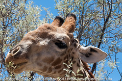 "Giraffe • <a style=""font-size:0.8em;"" href=""http://www.flickr.com/photos/56545707@N05/8363680823/"" target=""_blank"">View on Flickr</a>"