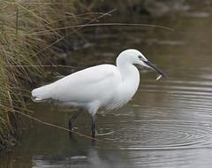 Little Egret (Robert Horne Wildlife Photography) Tags: bird canon fishing little westsussex egret stickleback egretta garzetta