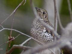 虎鶫 (Polotaro) Tags: bird nature pen olympus 自然 zuiko ep1 鳥 ペン 野鳥 オリンパス ズイコー トラツグミ fzuiko300mmf45teleconverter2xa