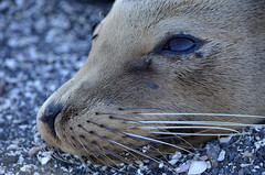 Galapagos - Fernandina Island - Sealion with flies (sweetpeapolly2012) Tags: