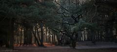 _DSC9188.jpg (Ingeborg Ruyken) Tags: morning trees winter forest sunrise landscape bomen woods frost january bos januari ochtend landschap naturephotography vorst loonseendrunenseduinen zonsopkomst natuurfotografie 2013 groeptrees