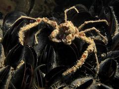 Inachus phalangium (Centro Sub Monte Conero) Tags: mar mediterraneo mare centro crab muck conero numana nord degli sabbia adriatico ancona granchio sirolo phalangium benthos anemoni inachus crostaceo decoratore mascheramento