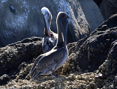 Galapagos - Panga ride - Pelicans (sweetpeapolly2012) Tags: