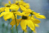 caught in the breeze (joppix off and on) Tags: flowers yellow lensbaby petals movement floating tall breeze rudbeckia onblue lacinata