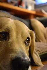 eyes (Shamello) Tags: dog puppy fur nose eyes thoughtful darwin expressive bestfriend longing hopeful flikrunitedaward