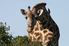An Inquisitive Giraffe (Richard & Jo) Tags: kenya nairobi giraffe inquisitive masaigiraffe nairobinationalpark maasaigiraffe nairobinp rnj2013bangkenturk inquisitivegiraffe