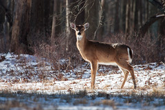 White-tailed deer (Bill McBride Photography) Tags: connetquotriverstateparkpreservewildlifenaturewinter deer whitetaileddeer whitetailed odocoileusvirginianus nature wildlife ny li longisland newyork connetquot preserve park blackandwhite canon rebel xsi 450d ef100400l 100400