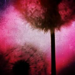 Magenta (BLACK EYED SUZY) Tags: blurry magenta dandelion iphone vintique hipstamatic phototoaster