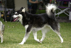 Dalton (Alexandra Kimbrough) Tags: show dog toy miniature husky pentax huskies event kai klee alaskan ukc conformation akk
