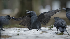 Tilted (doyleshafer) Tags: park snow bird japan tokyo fight watch january yoyogi crow vr afs d4 200mm 2013 f2g tc14eiii