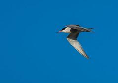 Sterne pierregarin (JeanJoachim) Tags: bird pssaro aves fugl oiseau vogel uccello ptak fgel lintu commontern laridae sternahirundo charadriiformes  sternepierregarin  smcpentaxda300mmf4edifsdm domainedesoiseauxdemazres pentaxk5iis
