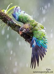 Brown Hooded Parrot !!!!   Enjoying The Rain !! (Judylynn M.) Tags: ngc npc