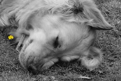 Simple life ((fiona) thank you for your visit) Tags: nikon dogs goldie golden retriever love friendship trust beautiful faithful