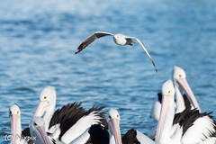 Checking out the competition (nixpix651) Tags: theentrance water centralcoast newsouthwales australia pelican seagull