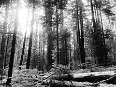 in the land of the giants.... (BillsExplorations) Tags: sequoia sequoianationalpark tree redwoods scenic california giant highway generalshighway land blackandwhite monochrome park 100thanniversary centennial nationalparksystem kingscanyon sierramountains