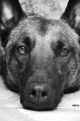 Marley (Misty Morning 77) Tags: dog pets sheperd malinois bw